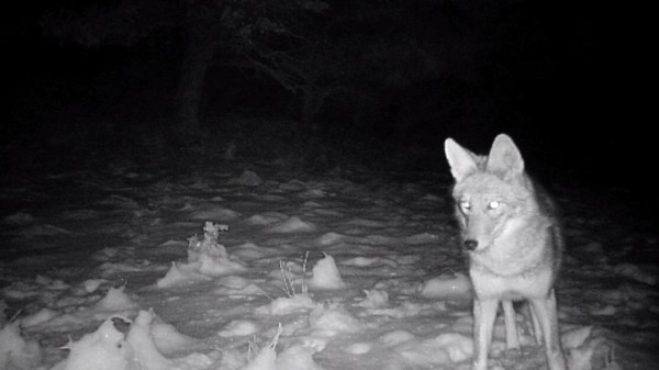 Night Coyote